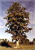White Oak Bark Capsules - 525 mg, 60 Vcaps™  (Quercus alba)