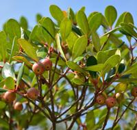 Bearberry Capsules - 625 mg, 60 Vcaps™ (Arctostaphylos uva ursi)