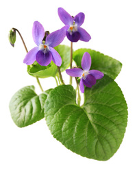 Blue Violet Leaves, Powder, 4 oz - Penn Herb Company On ... Ljubicica