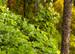 Kudzu Root, Cut, 1 oz (Pueraria lobata)