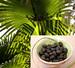 Saw Palmetto Berries Cut, 1 oz (Serenoa serrulata)